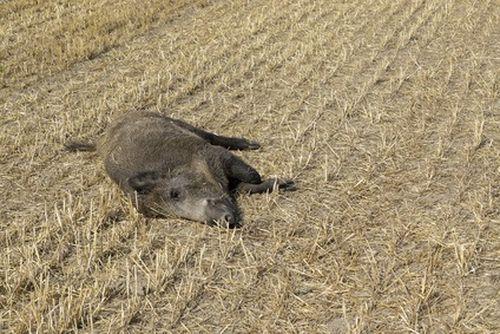 martwy dzik w polu ceny rolnicze