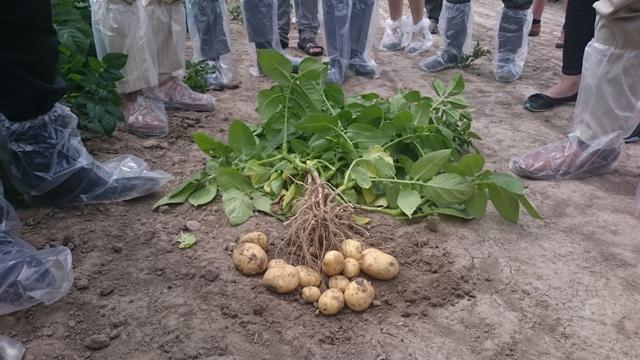 Program dla polskiego ziemniaka