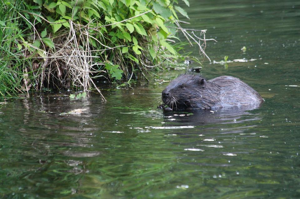 Wniosek o wpisanie bobra na listę zwierząt łownych