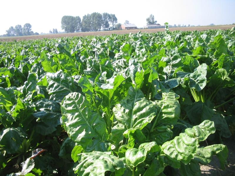 Rynek cukru - potrzeba wzmocnienia plantatorów