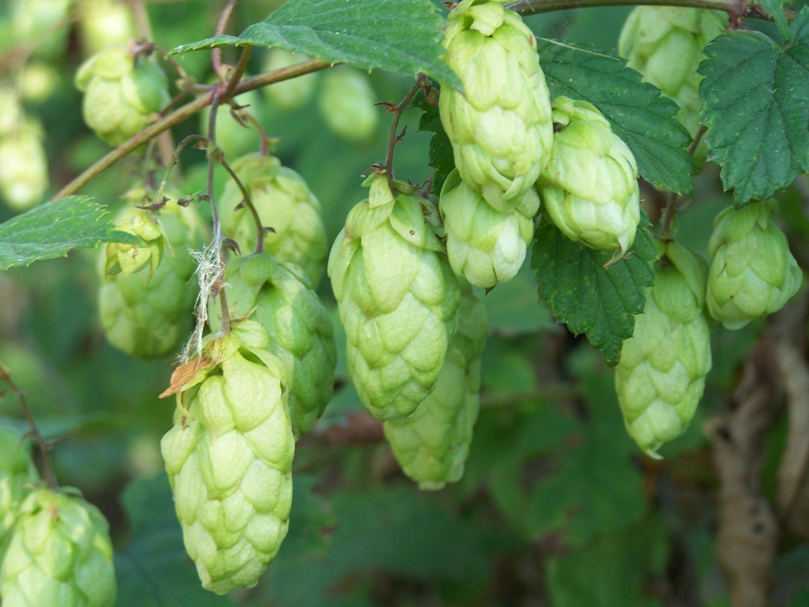 Zwiększenie puli środków ochrony roślin dla chmielu