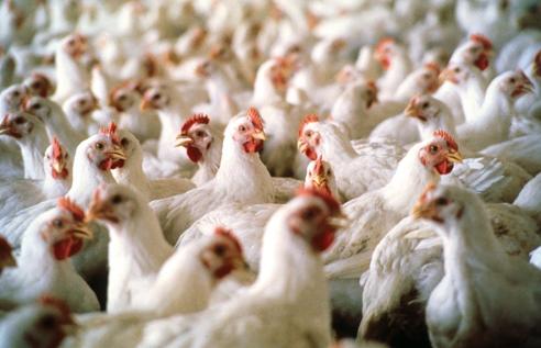 Wolny wybieg a grypa ptaków