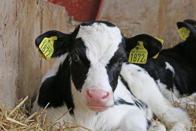 Choroba guzowatej skóry bydła: Bałkany wolne od epidemii
