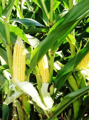 Pozataryfowy import zbóż z Ukrainy