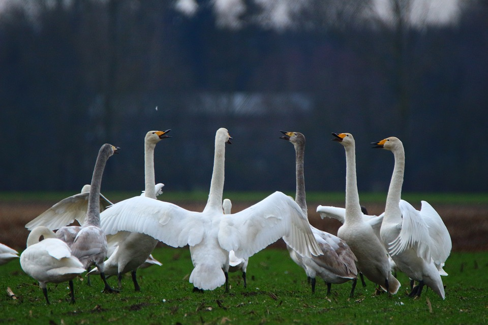 Nie będzie odszkodowań za szkody powodowane przez ptaki objęte ochroną
