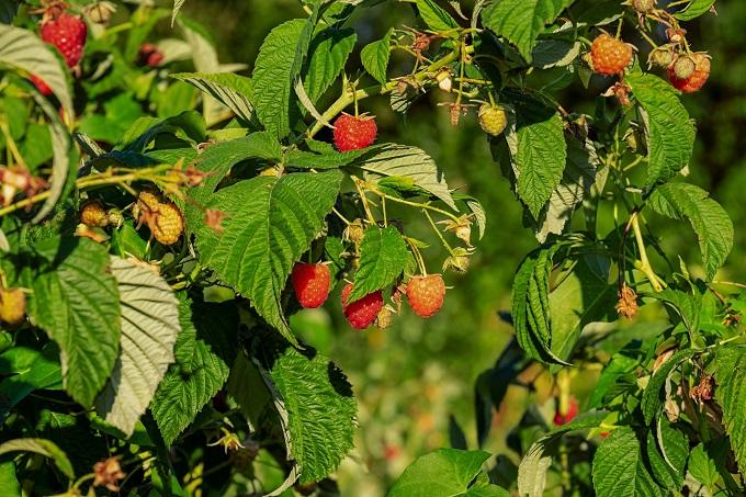 UOKiK w sprawie zmowy cenowej na rynku owoców miękkich
