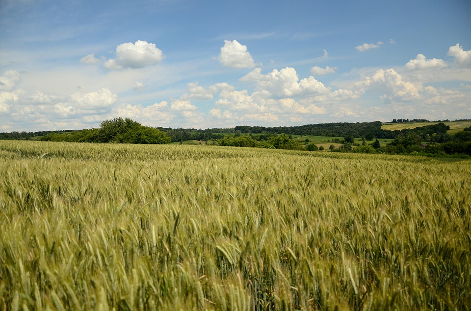 Problemy rolników ekologicznych uprawiających pszenżyto