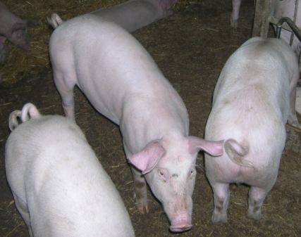 Opinia w sprawie pomocy dla producentów mleka i świń
