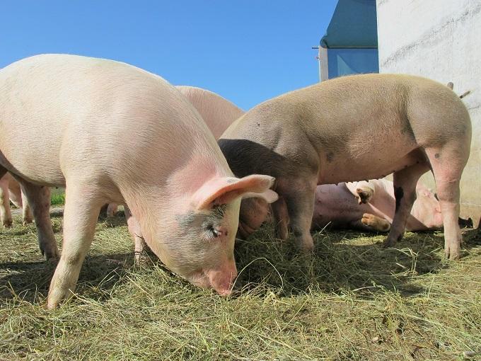 Wniosek o dopłaty za dobrostan zwierząt w przypadku chowu świń na ściółce