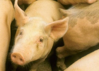Pomoc producentom świń