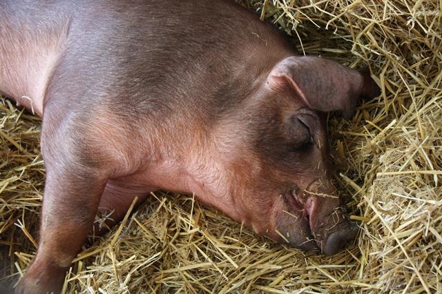 Nakaz likwidacji stada - tylko do 14 sierpnia można składać wnioski o pomoc