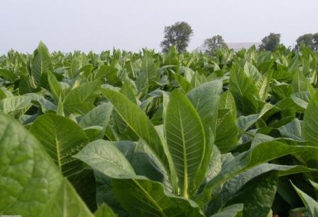 Pomoc dla producentów tytoniu oraz producentów świń