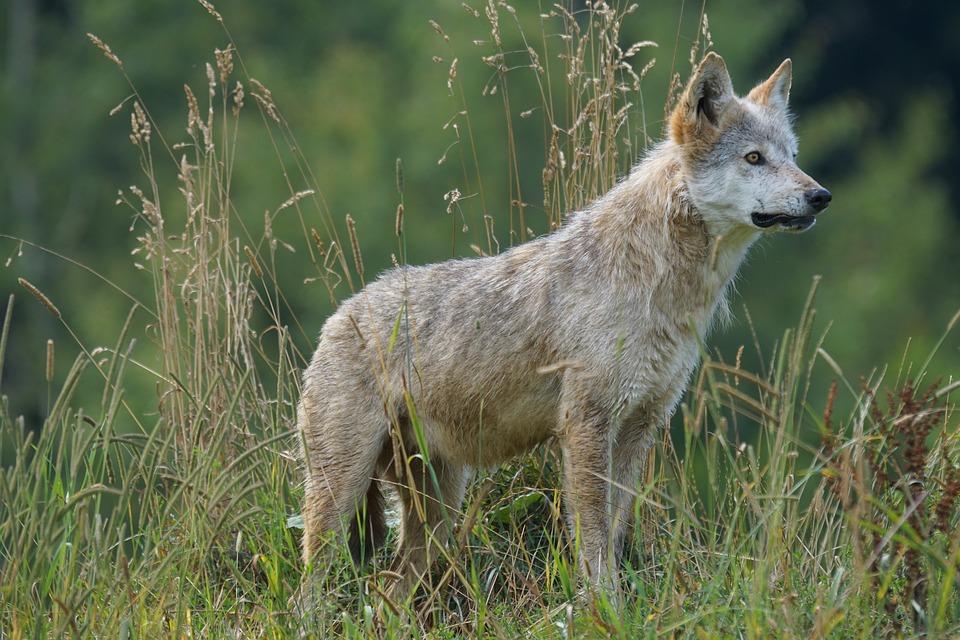 Problemy z wilkami w Bieszczadach i Beskidach