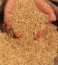 Samorząd wnioskuje o poprawę opłacalności upraw ekologicznych zbóż