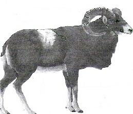Wniosek do Ministra Środowiska w sprawie muflonów